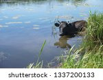 cow in the water is saved from... | Shutterstock . vector #1337200133