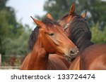 two brown horses nuzzling each... | Shutterstock . vector #133724474