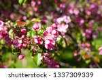 blooming apple orchard. pink... | Shutterstock . vector #1337309339