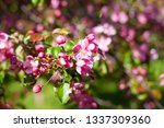 blooming apple orchard. pink... | Shutterstock . vector #1337309360