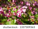 blooming apple orchard. pink... | Shutterstock . vector #1337309363