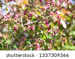 blooming apple orchard. pink... | Shutterstock . vector #1337309366