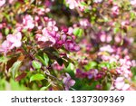 blooming apple orchard. pink... | Shutterstock . vector #1337309369