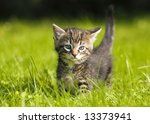 Stock photo little kitten playing on the grass close up 13373941