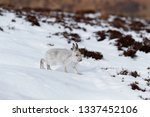Stock photo wild mountain hare in the north of scotland with white winter fur coat 1337452106