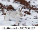 Stock photo wild mountain hare in the north of scotland with white winter fur coat 1337452109