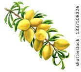 fresh argan tree  argania...   Shutterstock . vector #1337508326
