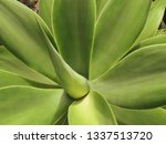 agave attenuata is a species of ... | Shutterstock . vector #1337513720