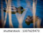 Mallard Ducks Pair Swimming...