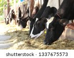 many cows in barn or milk cow...   Shutterstock . vector #1337675573