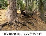 trees in sequoia national park. | Shutterstock . vector #1337993459