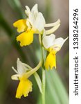 Small photo of Orchis pauciflora, Sparse-flowered Orchid is short, robust species that appears to be weighed down by the disproportionate size of its flowers
