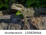 eastern water dragon. australia....   Shutterstock . vector #133828466