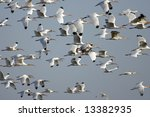Small photo of A flock of White Ibis explode into the air all at once