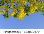 Yellow Flowers Of Golden Showe...