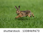 Stock photo hare running through a green field 1338469673