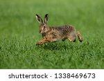 Stock photo hare running through a green field 1338469673