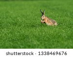 Stock photo hare running through a green field 1338469676