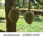 durians are dangling in the... | Shutterstock . vector #1338511520
