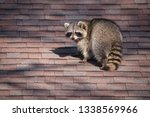 A raccoon walks around on...