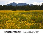 Wildflowers in the shadow of the San Francisco Peaks