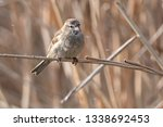 sparrow on reed at lake | Shutterstock . vector #1338692453