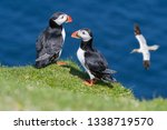 Two Atlantic Puffins ...