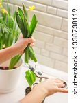 potted plant. pruning of the... | Shutterstock . vector #1338738119