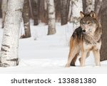 Grey Wolf  Canis Lupus  Stands...