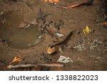 Mudskipper. Amphibious Fish...