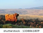 hardy scottish highland cows... | Shutterstock . vector #1338861809