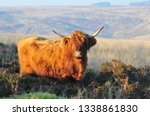 hardy scottish highland cows... | Shutterstock . vector #1338861830
