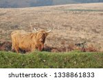 hardy scottish highland cows... | Shutterstock . vector #1338861833
