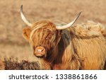 hardy scottish highland cows... | Shutterstock . vector #1338861866
