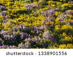 Mount With Gorse And Common...