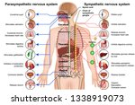sympathetic and parasympathetic ... | Shutterstock .eps vector #1338919073