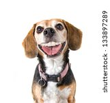 Stock photo a cute beagle with a big grin looking at the camera 133897289