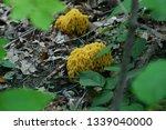 Large Gold Colored Mushrooms I...