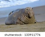 Scarred Adult Elephant Seal On...