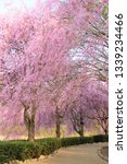 cherry blossoms at hitachi... | Shutterstock . vector #1339234466