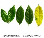arabica coffee leaf on a white...   Shutterstock . vector #1339237940