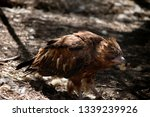 the black kite is eating a... | Shutterstock . vector #1339239926