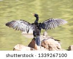 Reed Cormorant Perched With Its ...