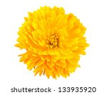 Yellow Chrysanthemum Isolated...