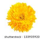 Yellow Chrysanthemum Isolated...