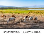 Herd of goats grazing on edge of Lake Kamnarok National Reserve, Kenya.Ground is bare from over grazing. Reserves were established so local communities could benefit from resources alongside wildlife.