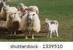 a flock of sheep with new born...   Shutterstock . vector #1339510