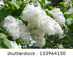 Blossoming Branch Of A White...