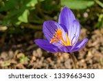 fall crocus  crocus speciosus ...   Shutterstock . vector #1339663430