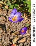 fall crocus  crocus speciosus ...   Shutterstock . vector #1339663433